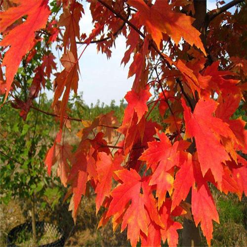 美国红枫8公分10公分美国红枫12公分红枫树苗