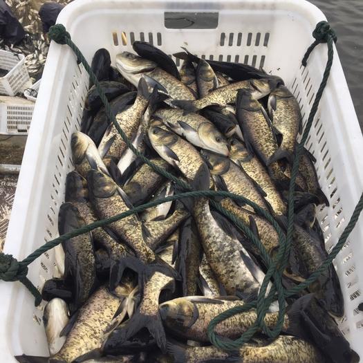 1斤以上花鲢鱼苗内蒙古多仑大量供应